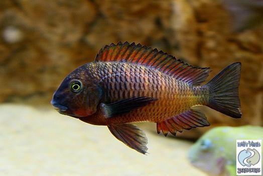 Tropheus Red Ndole Freshwater Aquarium Fish African Cichlids Cool Fish