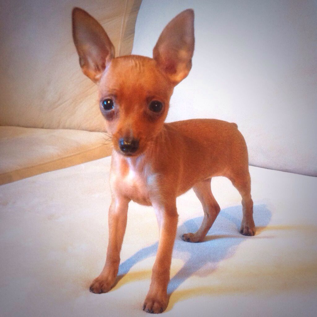 Min Pin Puppy Red Min Pin Tea Cup Puppy Cute Little Dogs