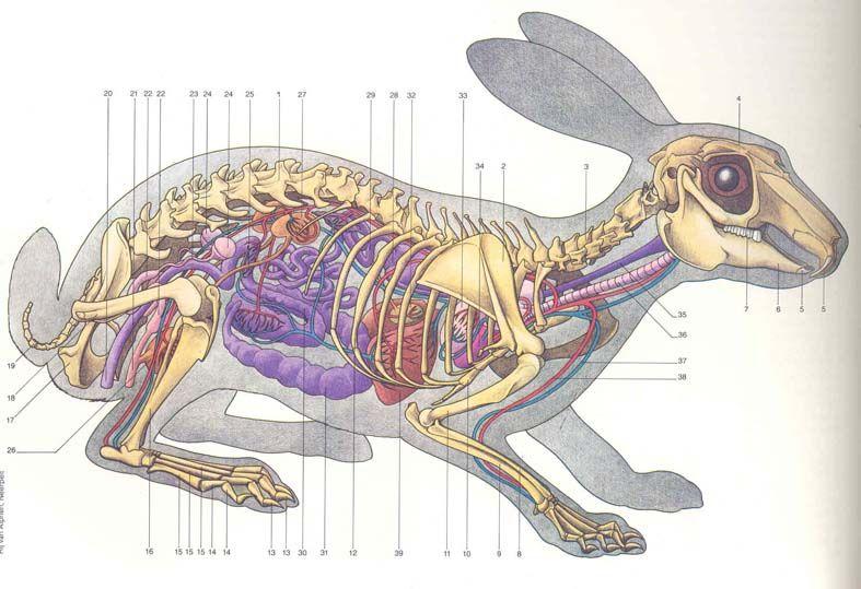 Rabbit anatomy | Vet Med | Pinterest | Anatomy, Rabbit and Animal ...