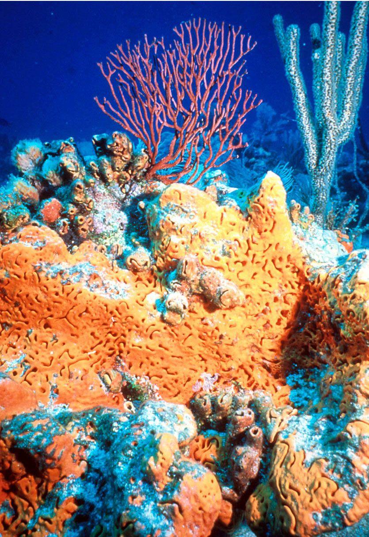 Orange elephant ear sponge under water with sea fan in background orange elephant ear sponge under water with sea fan in background reviewsmspy