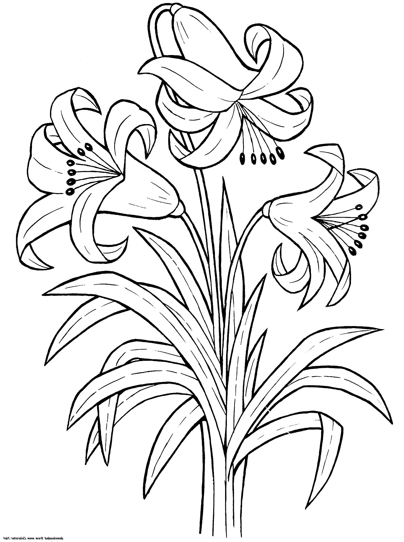 Printable Lily Flower Coloring Pages K5 Worksheets