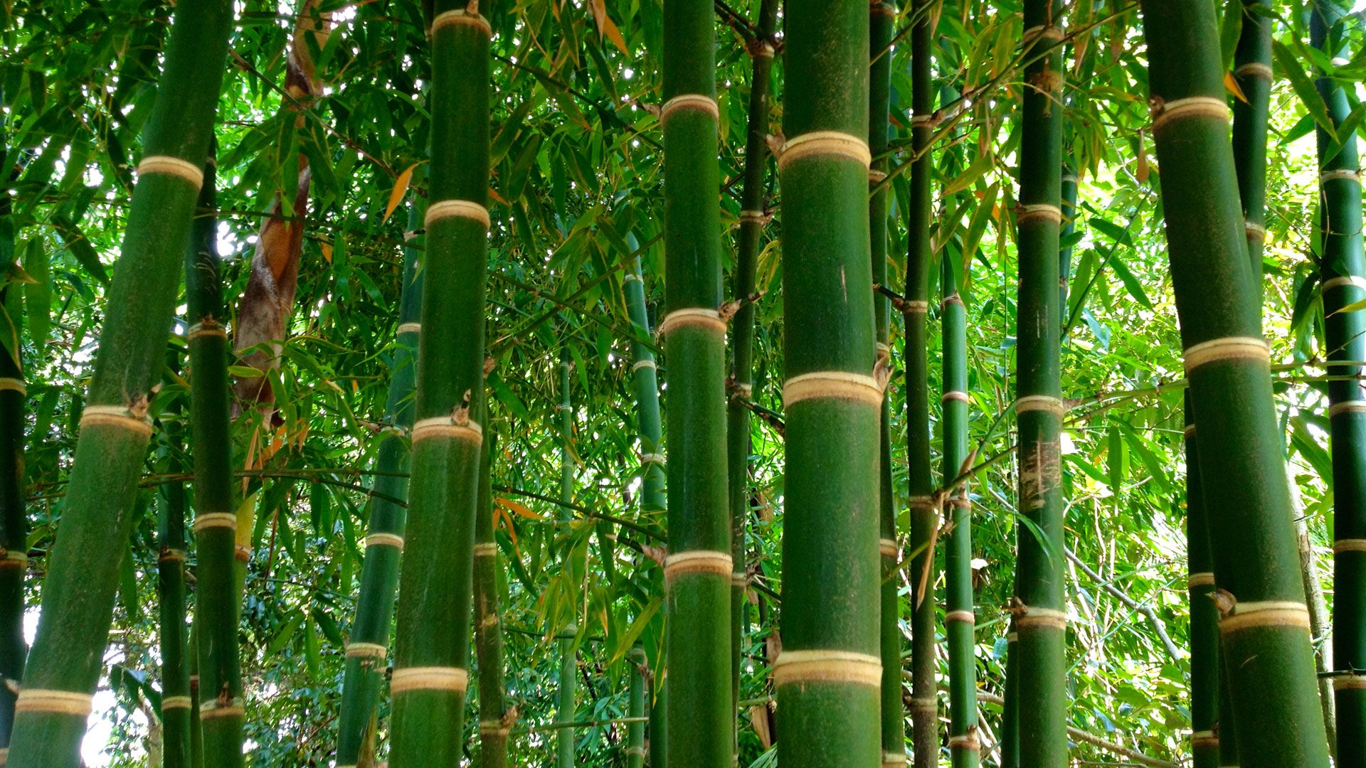 Bamboo Identification Guide Bamboo plants, Bamboo plants