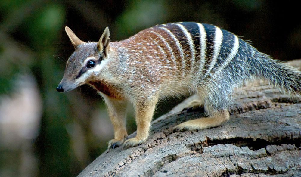 end0skeletal Numbat, Animals, Australian animals