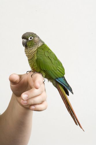 Green-cheeked #Conure