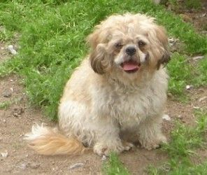 Sumi Shih Tzu Is An Adoptable Shih Tzu Dog In Vancouver Bc Sumi