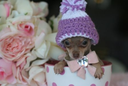 tiny chihuahuas #cuteteacuppuppies