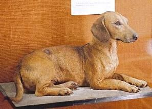 How Dachshunds Used To Look Longer Legs And Shorter Body Length