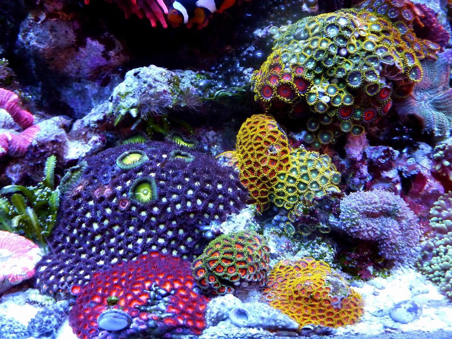 Fragen rund um zoanthus tiere community for Rundes aquarium