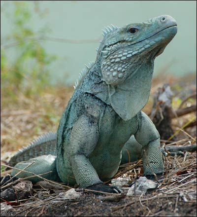 Grand Cayman Blue Iguana ConservationDonate With Your American Express Membership Reward