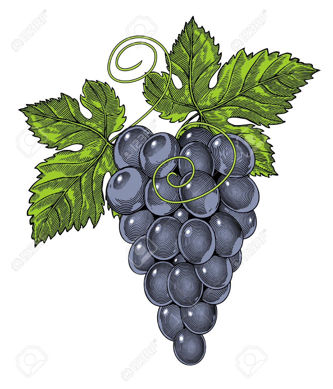 26585108-illustration-of-bunch-of-grapes-in-vintage-engraved-style-Stock-Vector.jpg (1114×1300)