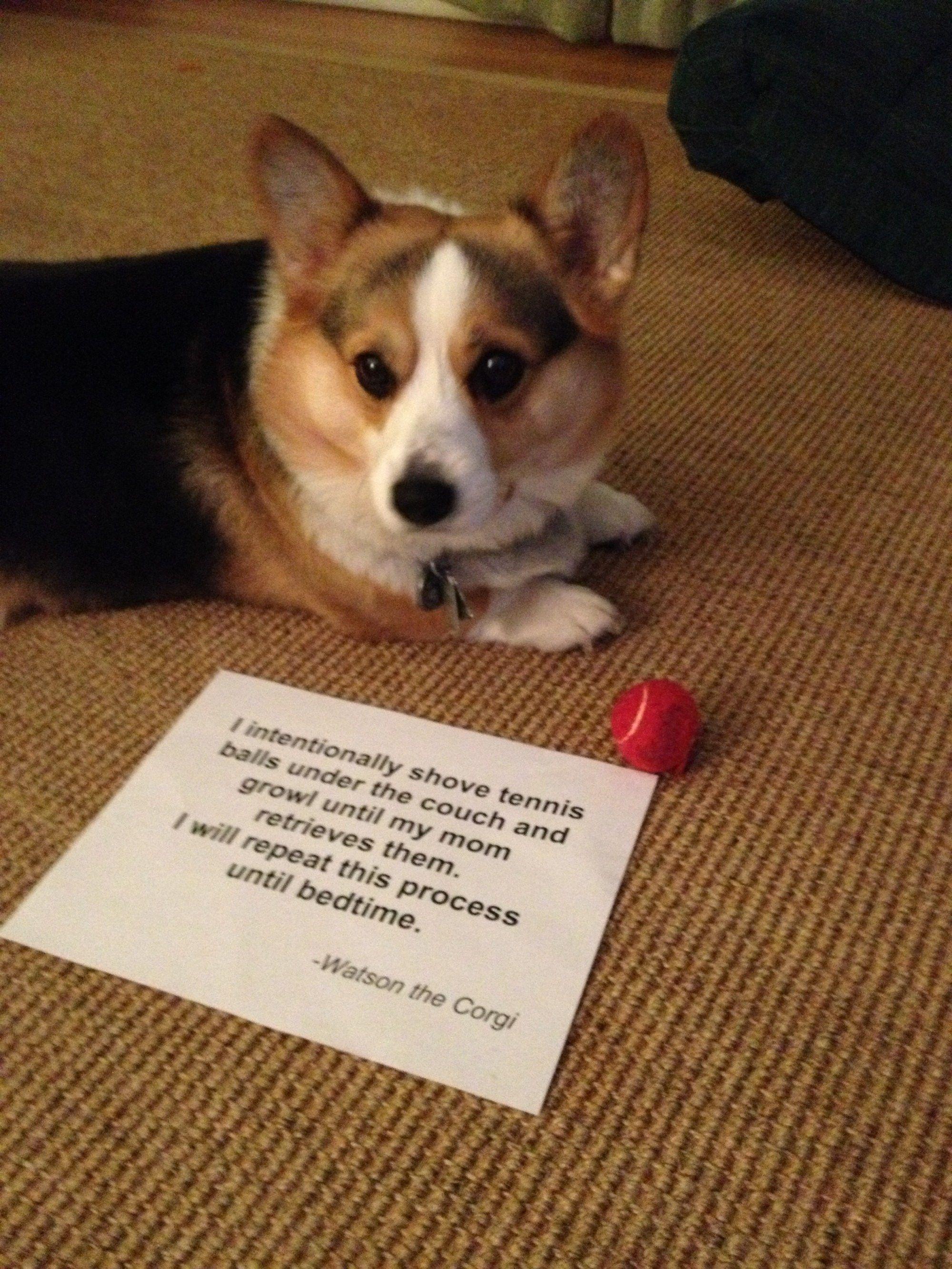 Watson And His Tennis Balls Corgi Corgi Dog Dog Shaming