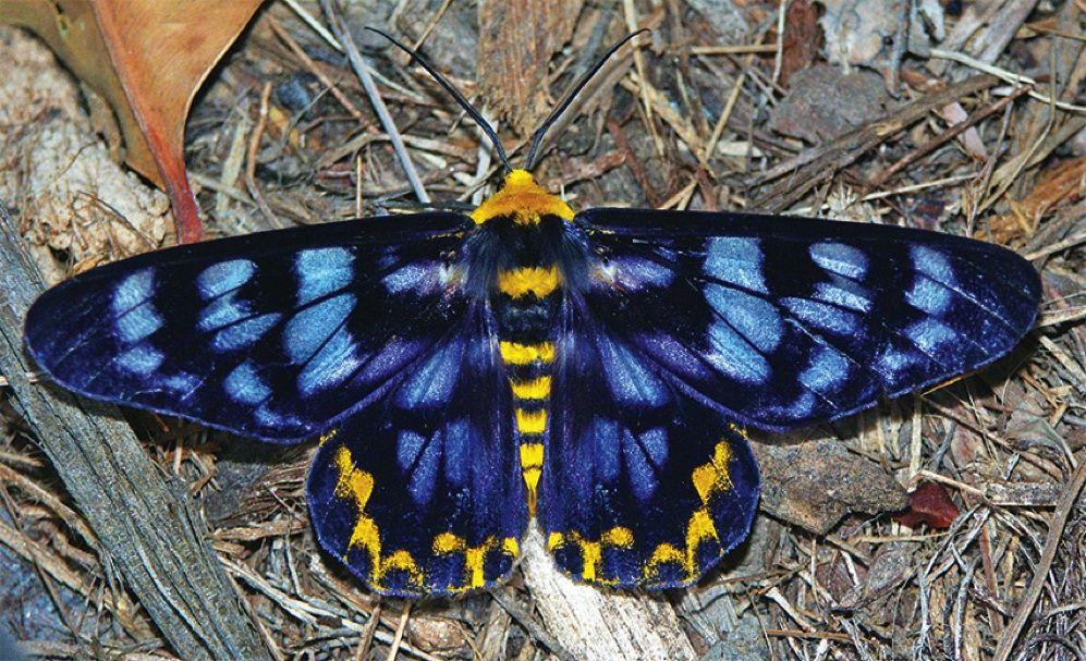 Dysphania Numana 4 O Clock Moth Australia 画像あり 蛾