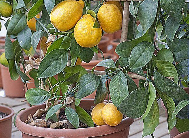 Comment Cultiver Et Entretenir Le Citronnier En Pot Faire Pousser Un Arbre Citronnier Et Idee Jardinage