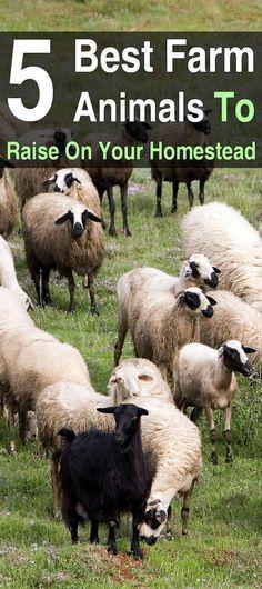 5 Best Animals To Raise On Your Homestead Raising Farm Animals