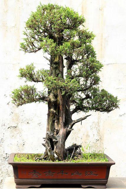 Definisi dan makna Apa itu Bonsai?   Pohon bonsai, Bonsai ...
