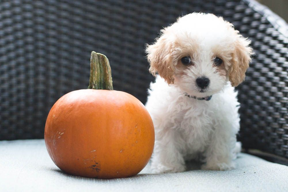 Cavapoo Cavapoo Puppy White Cavapoo Red And White Cavoodle Pumpkin
