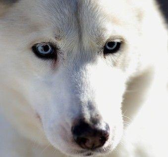 White Alaskan Husky Alaskan Husky Siberian Husky