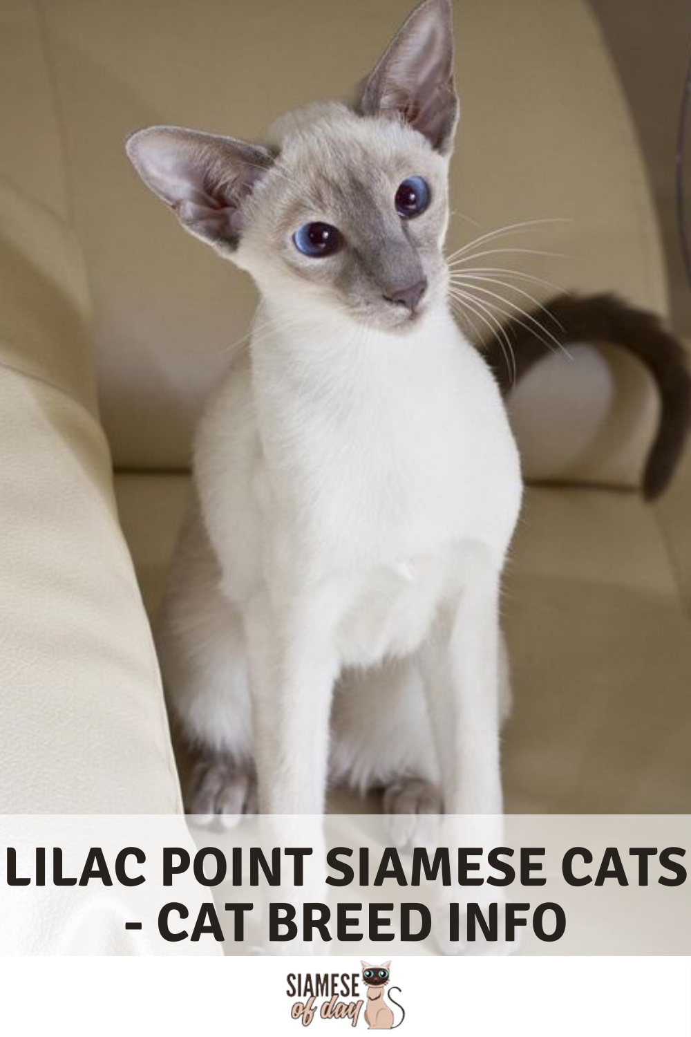 Lilac Point Siamese Cats Cat Breed Info in 2020