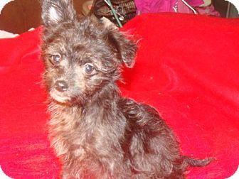 Providence Ri Affenpinscher Chihuahua Mix Meet Nicky Elf Cj A