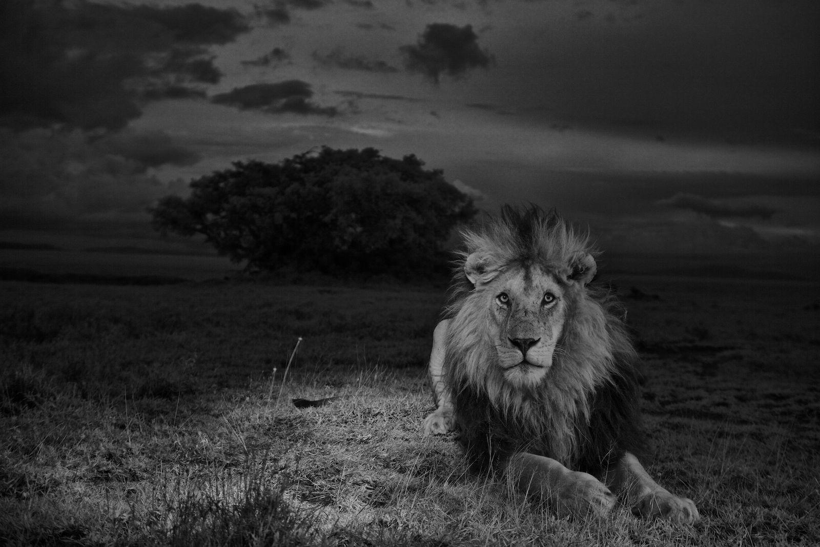 The serengeti lion lion king pinterest lion animals and male lion