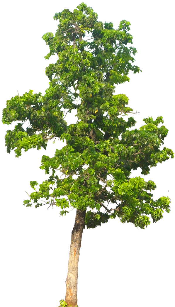 20 Tree Png Images Free Cutouts For Architecture Landscape Interior Renderings Landscape Trees To Plant Watercolor Trees