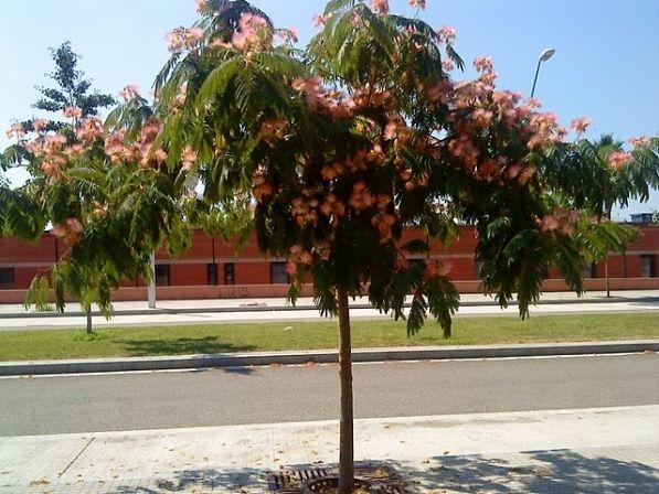 Vereda arboles arboles planta plantar y acacia for Arboles de hoja perenne y crecimiento rapido para jardin