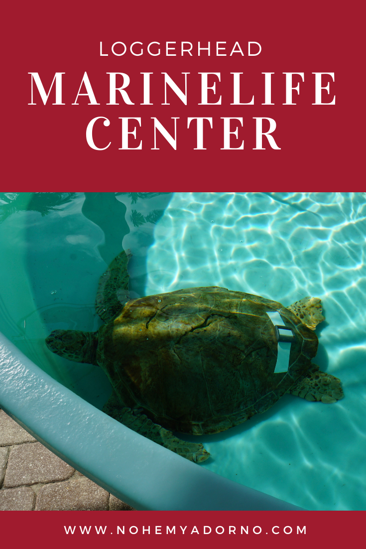 Loggerhead Sea Turtle with boat strike injuries - Loggerhead Marinelife Center