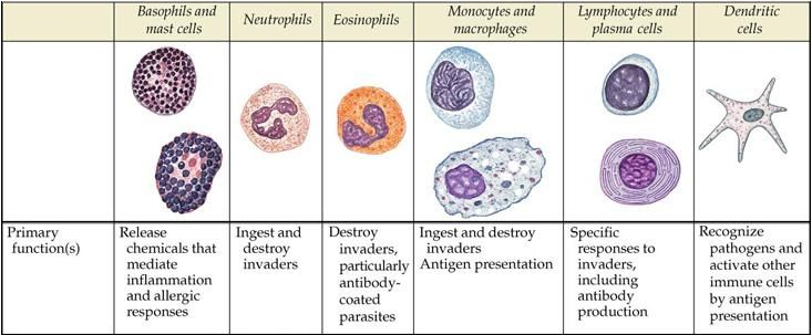 Leukocytes! Neutrophils, Lymphocytes, Monocytes ...