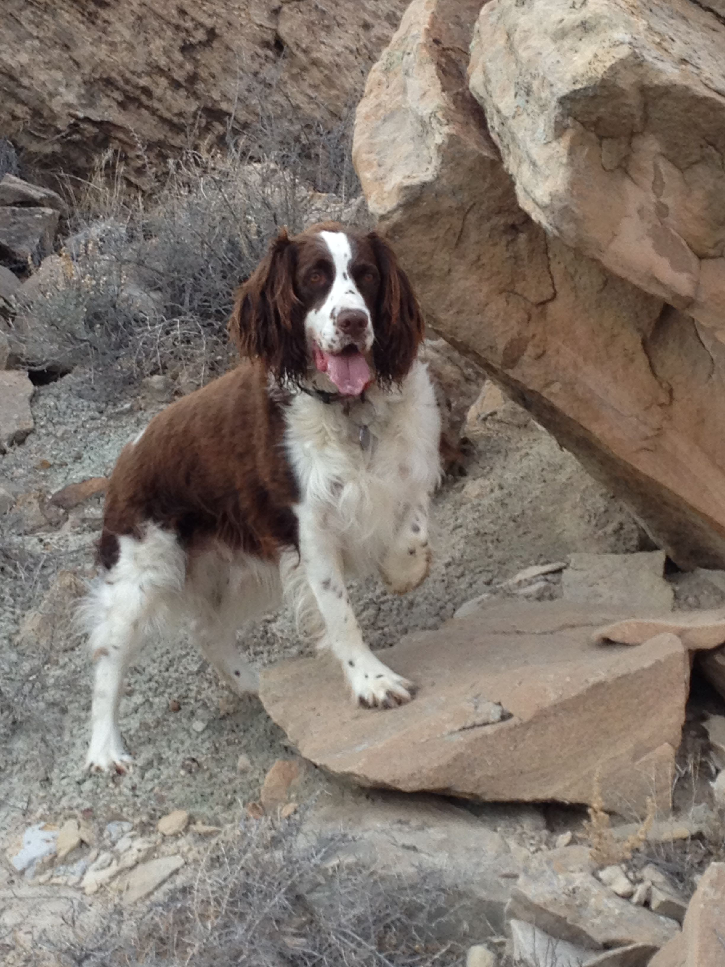 Walter Exploring Colorado Outdoors Springer Dog Springer Spaniel Spaniel