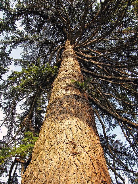 Cedar of Lebanon | Lebanon cedar, Lebanon, Cedar trees