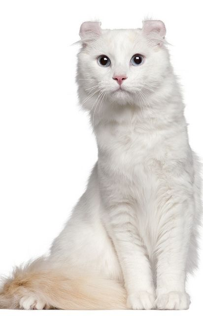 American Curl Cat 1 And A Half Cat Breeds Cat Lovers Pretty Cats