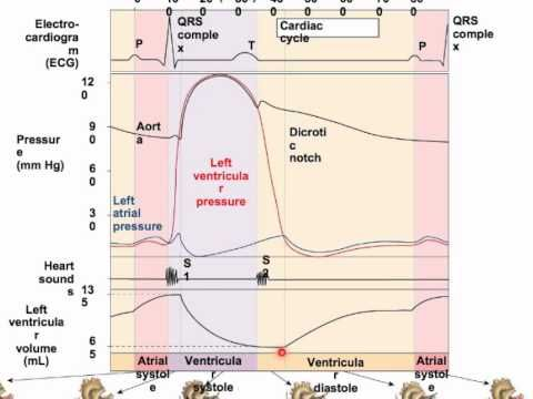 Wiggers Diagram4 Youtube Blood Supply Pinterest