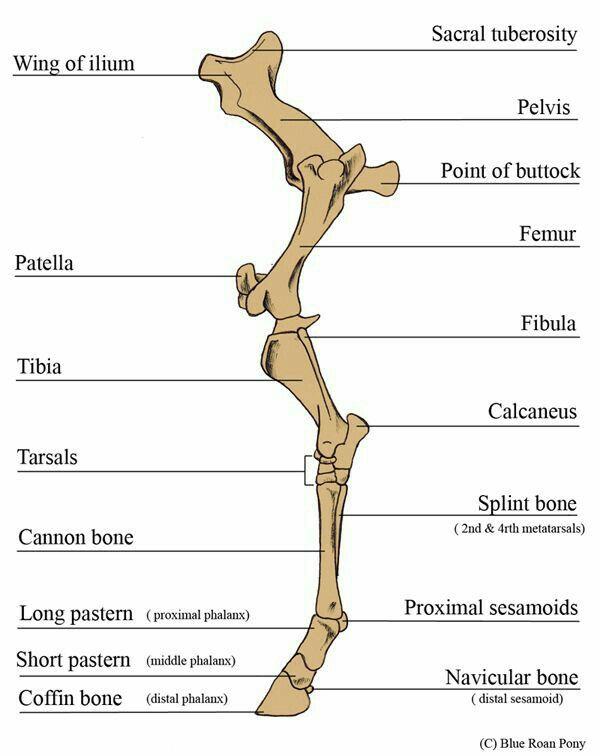 Huesos del miembro posterior | Anatomía Animal | Pinterest | Miembro ...