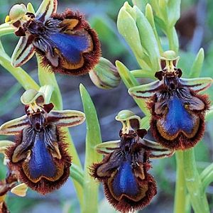 Orchid: flowers look like bees. Does this attract male bees who look like this, or scare away non-bee pollinators? This orchid may have evolved into a symbiotic relationship with blue bees. Whatever the case, it's biological trickery as well as sexual deception!! How amazing is that???? The orchid evidently produces bee pheromones too.