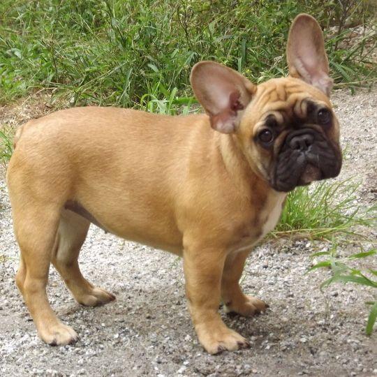 Birthday Pressie Fawn French Bulldog Cute French Bulldog