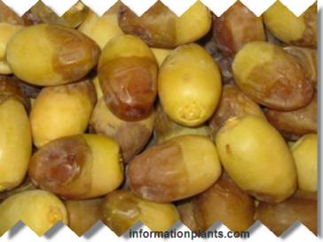 تمر قنده قسم التمور مع الصور قسم التمور انواع الاسماك مع الصور معلوماتية نبات حيوان اسماك فوائد Food Fruit Olive