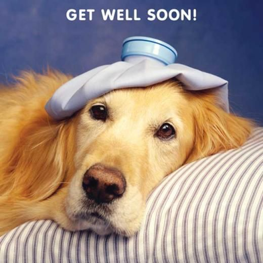 Golden Retriever Get Well Soon Card 2 40 A Great Range Of Golden Retriever Get Well Soon Card From Fresh Cards And Gifts