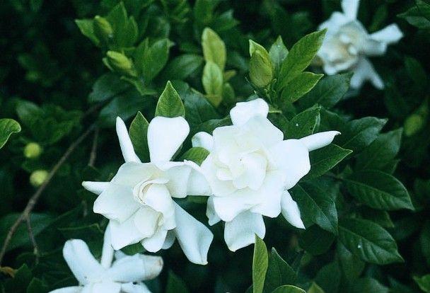 Gardenia Jasminoides Frost Proof Hardy In Oregon Zone 7 8
