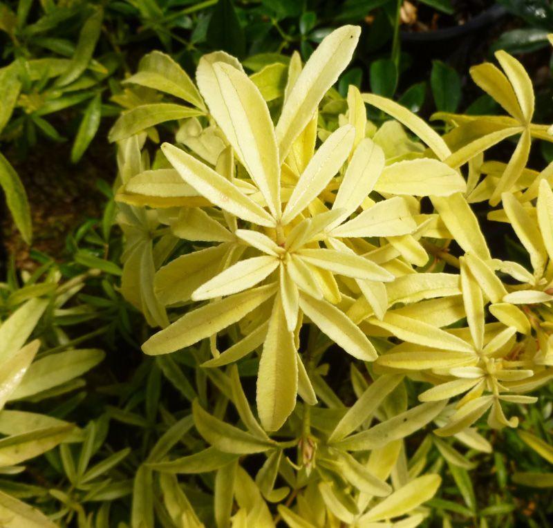 Choisya Goldfingers Mexican Orange Blossom Online From Jacksons Nurseries