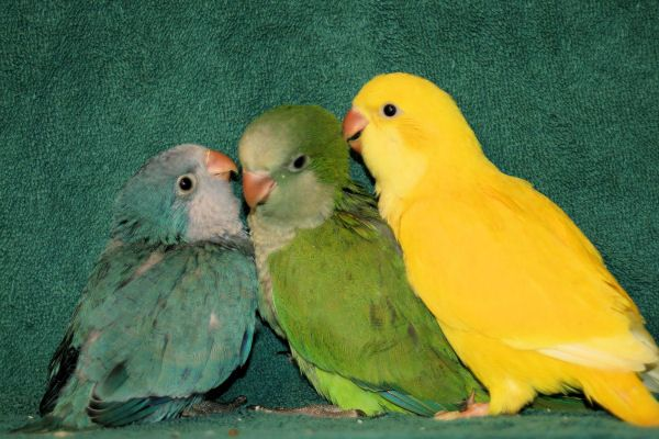 quaker parakeet | Juvenile Blue, Green, and Dark-eyed ...