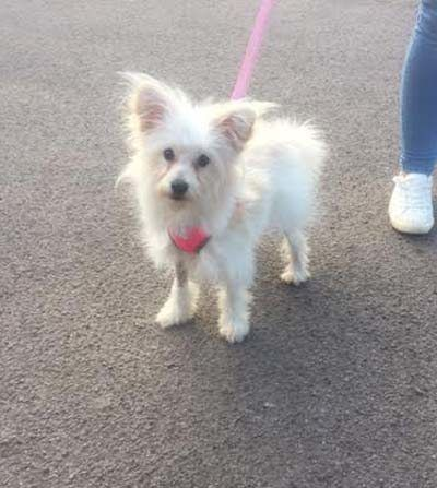 Zira 7 Month Old Female Japanese Spitz Cross Toy Poodle Cutedogs