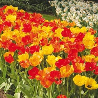 Daydream ,The Perennial Tulip, blooms start lemon-yellow and transform to rich apricot-orange as they grow.  Most weather-resistant of all garden tulips, have exceptional perennial qualities and will produce many lovely flowers year after year.