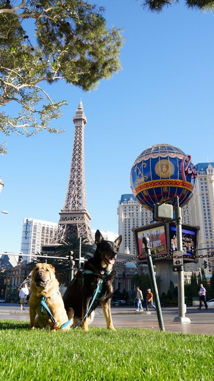 Buster And Ty Las Vegas Nv Pet Friendly Las Vegas Pet Travel Dog Travel