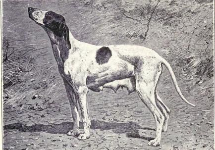 Braque du Puy: This French working dog was bred for hunting in the lowlands and known for being fast and flexible. Also known as the Dupuy Pointer.