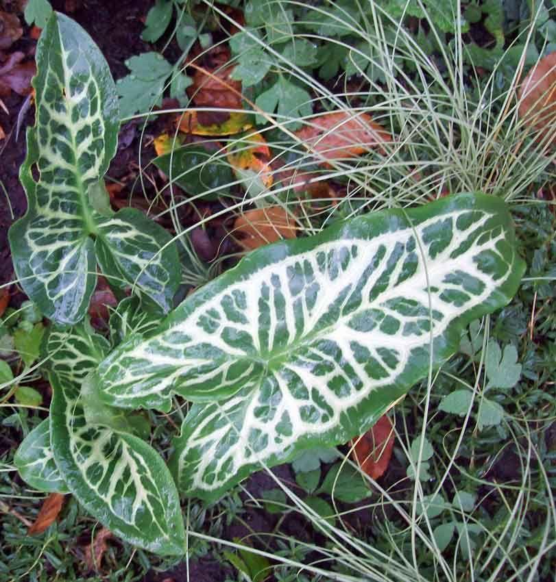 Arum italicum marmoratum, Carex, Nov 16.
