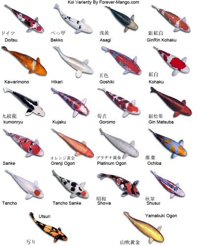 Pin By Jessica Price On Koi Fish Koi Fish Pond Koi Fish Colors Fish Ponds