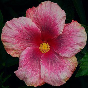 Tropical Hibiscus Thumbelina Hibiscus Plant Hibiscus
