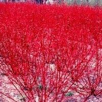 Dogwood - Redosier