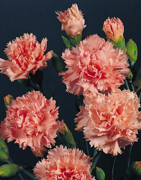 Learn2grow Dianthus Caryophyllus Flowers Perennials Carnation Flower