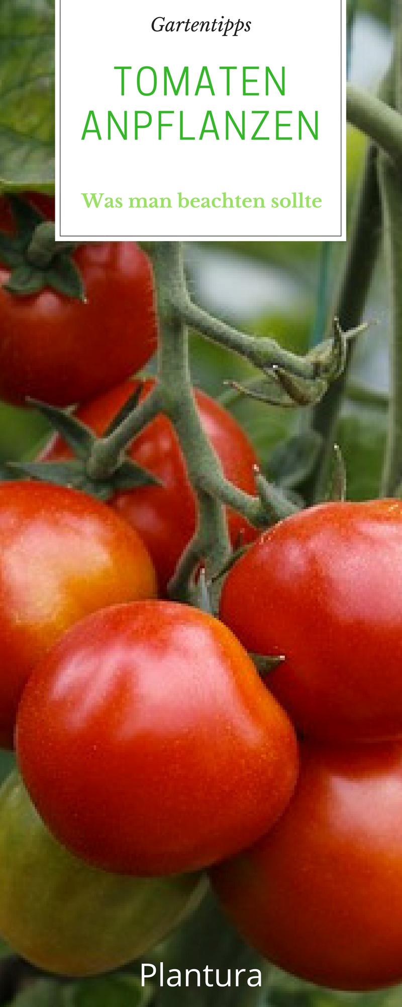 Tomaten Aussaen Pikieren Und Auspflanzen